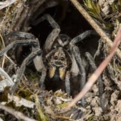 Lycosidae sp. (family) (Unidentified wolf spider) at Gungaderra Grasslands - 10 Nov 2017 by DerekC