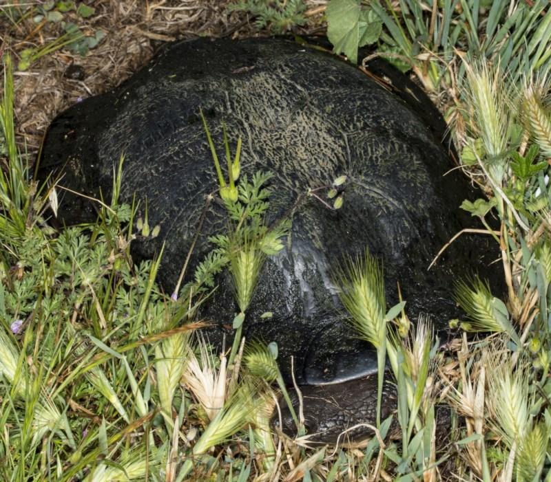 Chelodina longicollis at Jerrabomberra Wetlands - 11 Nov 2017