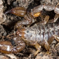 Urodacus manicatus (Black Rock Scorpion) at Aranda Bushland - 14 Oct 2017 by DerekC
