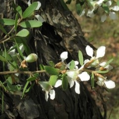 Leptospermum trinervium at South Brooman State Forest - 10 Nov 2017