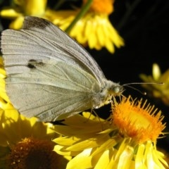 Pieris rapae (Cabbage White) at Kambah, ACT - 8 Nov 2017 by MatthewFrawley