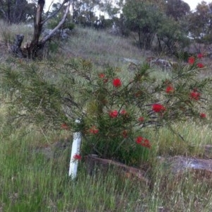Callistemon citrinus at Hughes Garran Woodland - 13 Nov 2017