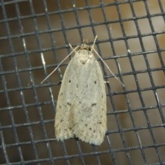 Eulechria undescribed species (A concealer moth) at Conder, ACT - 29 Oct 2017 by michaelb
