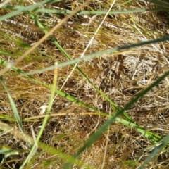 Perunga ochracea (Perunga grasshopper, Cross-dressing Grasshopper) at Jerrabomberra Grassland - 14 Nov 2017 by RichardMilner