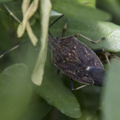 Poecilometis strigatus (Gum Tree Shield Bug) at Higgins, ACT - 21 Sep 2017 by Alison Milton
