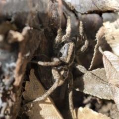 Venatrix sp. (genus) (Unidentified Venatrix wolf spider) at Higgins, ACT - 3 Oct 2017 by AlisonMilton