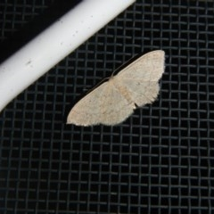 Scopula sp. (genus) (A wave moth) at Higgins, ACT - 4 Oct 2017 by Alison Milton