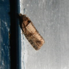 Rupicolana orthias (A tortrix or leafroller moth) at Higgins, ACT - 4 Oct 2017 by Alison Milton