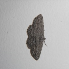 Psilosticha absorpta (Fine-waved Bark Moth) at Higgins, ACT - 4 Oct 2017 by Alison Milton