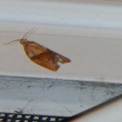 Epiphyas postvittana (Light Brown Apple Moth) at Higgins, ACT - 4 Oct 2017 by Alison Milton