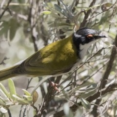 Melithreptus lunatus (White-naped Honeyeater) at ANBG - 6 Oct 2017 by Alison Milton