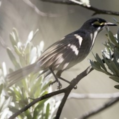 Caligavis chrysops (Yellow-faced Honeyeater) at ANBG - 6 Oct 2017 by Alison Milton