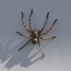 Sparassidae sp. (family) (A Huntsman Spider) at Higgins, ACT - 10 Oct 2017 by Alison Milton