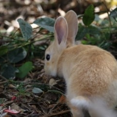 Oryctolagus cuniculus (European Rabbit) at ANBG - 11 Oct 2017 by Alison Milton