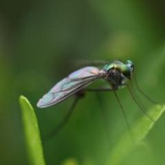 Austrosciapus sp. (genus) (Long-legged fly) at Higgins, ACT - 19 Oct 2017 by Alison Milton