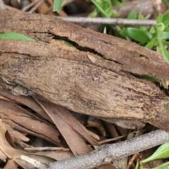 Chelepteryx collesi (White-stemmed Gum Moth) at Higgins, ACT - 3 Nov 2017 by Alison Milton
