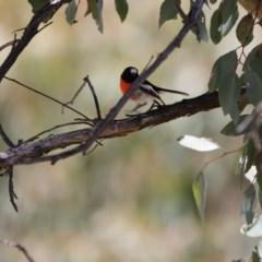 Petroica boodang (Scarlet Robin) at Mulligans Flat - 7 Nov 2017 by Alison Milton