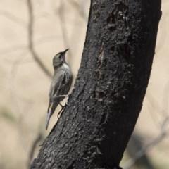 Cormobates leucophaea (White-throated Treecreeper) at Mulligans Flat - 7 Nov 2017 by Alison Milton
