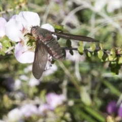 Comptosia insignis (A bee fly) at ANBG - 2 Nov 2017 by Alison Milton