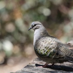 Phaps chalcoptera (Common Bronzewing) at ANBG - 7 Nov 2017 by Alison Milton