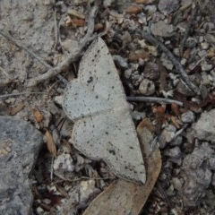 Taxeotis intextata (Looper Moth, Grey Taxeotis) at Conder, ACT - 4 Nov 2017 by michaelb