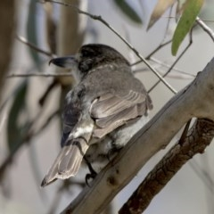 Cracticus torquatus (Grey Butcherbird) at ANBG - 27 Oct 2017 by Alison Milton