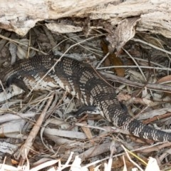 Tiliqua scincoides (Eastern Blue-tongue) at Gungaderra Grasslands - 15 Nov 2017 by DerekC
