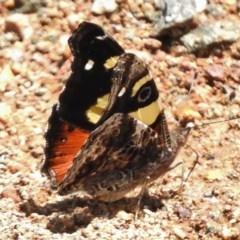 Vanessa itea (Yellow Admiral) at Cotter Reserve - 15 Nov 2017 by JohnBundock