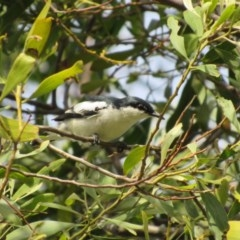 Lalage tricolor (White-winged Triller) at Jerrabomberra Wetlands - 14 Nov 2017 by YellowButton