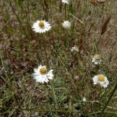 Leucochrysum albicans subsp. tricolor (Hoary Sunray) at Macgregor, ACT - 14 Nov 2017 by samreid007