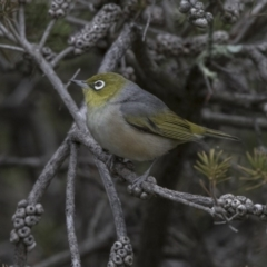 Zosterops lateralis (Silvereye) at Jerrabomberra Wetlands - 15 Nov 2017 by Alison Milton