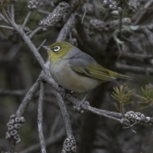 Zosterops lateralis at Jerrabomberra Wetlands - 16 Nov 2017