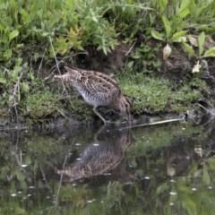 Gallinago hardwickii (Latham's Snipe) at Jerrabomberra Wetlands - 15 Nov 2017 by Alison Milton
