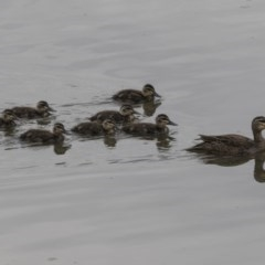 Anas superciliosa (Pacific Black Duck) at Jerrabomberra Wetlands - 15 Nov 2017 by Alison Milton