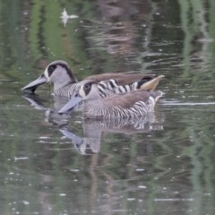 Malacorhynchus membranaceus (Pink-eared Duck) at Jerrabomberra Wetlands - 15 Nov 2017 by Alison Milton