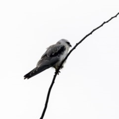Elanus axillaris (Black-shouldered Kite) at Jerrabomberra Wetlands - 16 Nov 2017 by Alison Milton