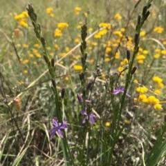 Caesia calliantha (Blue Grass Lily) at Barton, ACT - 17 Nov 2017 by AaronClausen