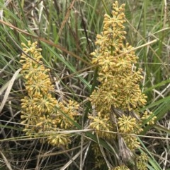 Lomandra multiflora (Many-flowered Matrush) at Barton, ACT - 17 Nov 2017 by AaronClausen