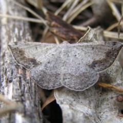 Taxeotis intextata (Looper Moth, Grey Taxeotis) at Majura, ACT - 11 Nov 2017 by MatthewFrawley