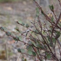 Bossiaea buxifolia (Bush Pea) at Tuggeranong Hill - 12 Nov 2017 by michaelb