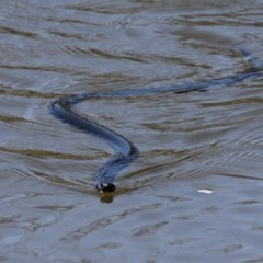 Pseudechis porphyriacus (Red-bellied Black Snake) at Molonglo River Park - 15 Oct 2017 by HarveyPerkins