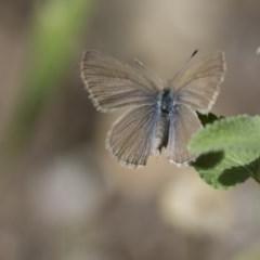 Zizina otis (Common Grass-blue) at Higgins, ACT - 14 Nov 2017 by Alison Milton