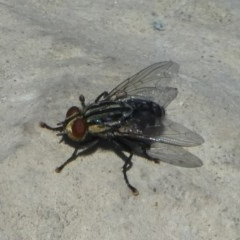 Sarcophagidae sp. (family) (Unidentified flesh fly) at National Arboretum Forests - 16 Oct 2017 by HarveyPerkins