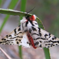 Spilosoma glatignyi (Black and White Tiger Moth) at Kambah, ACT - 17 Nov 2017 by MatthewFrawley