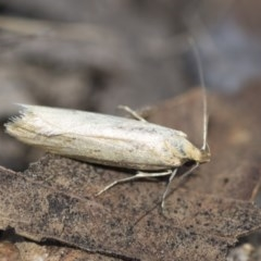 Philobota productella (Pasture Tunnel Moth) at Higgins, ACT - 14 Nov 2017 by Alison Milton