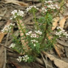 Poranthera ericifolia at Yadboro State Forest - 16 Nov 2017 by JackieMiles