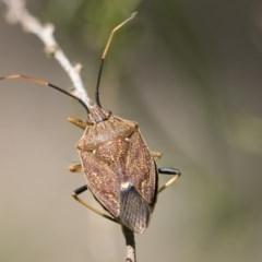 Poecilometis strigatus (Gum Tree Shield Bug) at Higgins, ACT - 14 Nov 2017 by Alison Milton