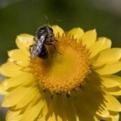 Lasioglossum (Chilalictus) lanarium (Halictid bee) at Higgins, ACT - 14 Nov 2017 by Alison Milton