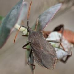 Amorbus sp. (genus) (Tip bug) at Higgins, ACT - 15 Nov 2017 by Alison Milton