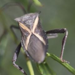 Mictis profana (Crusader bug) at Higgins, ACT - 15 Nov 2017 by Alison Milton